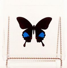 """Real Papilio paris butterfly from Indonesia mounted in a clear acrylic 7"""" x 7"""" x 2"""" case. by MonarchButterflyCo on Etsy https://www.etsy.com/listing/203910189/real-papilio-paris-butterfly-from"""