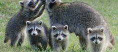 animal moms and babies | mom raccoon and babies