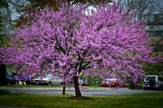 Assuming this is a redbud ... My favorite spring-blooming tree!!