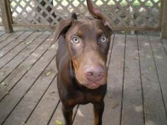 Rambo is an adoptable Doberman Pinscher Dog in Sedalia, MO. Rambo and his sisters came to us from a bad situation. Rambo loves the ladies and playing with others. He will need to be an inside dog with...