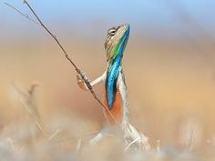 A colourful reptile holds up a twig as it is pictured looking like a warrior with a powerful stance.