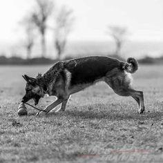 #German #Shepherd training