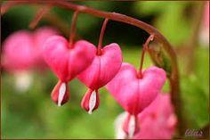 Coeur de Marie Lamprocapnos spectabilis