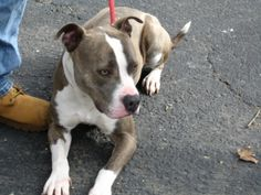 Buddy - 11-405 is an adoptable American Staffordshire Terrier Dog in Toms River, NJ. Buddy is a lovable, loyal boy who takes commands and aims to please. He walks very well on a leash. He would be an ...