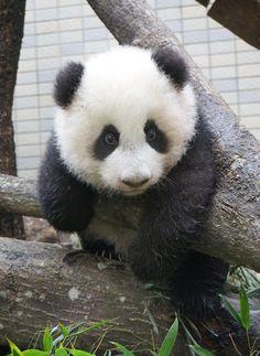 Giant Panda: Yuanzai at the Taipei Zoo in Taiwan on November 14, 2013. © Taipei Zoo.