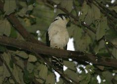Falcão-de-buckley