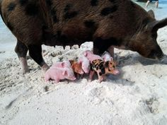 Smack's Second Chance at a Forever Home Pig Island, Pig Beach, Swimming Pigs, Baby Piglets, Exuma Bahamas, Pig Stuff, Cute Piggies, Super Cute Animals, Cute Creatures