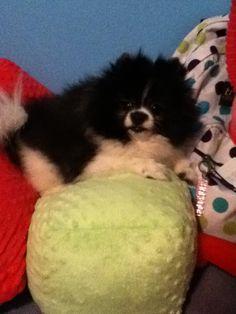 My Pomeranian Oreo :) Pomeranian, Oreo, Dogs, Cute, Animals, Animales, Animaux, Pet Dogs, Kawaii