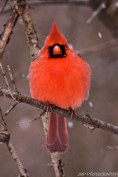 https://flic.kr/p/7ts6PQ   Winter Plumage   Winter Plumage Male Cardinal Lake Erie Metro Park Gibraltar, Michigan