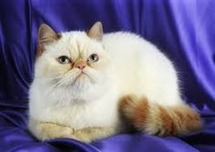 Smallest cat breeds list with funny fact and pictures about them. More cat breeds list? Visit my website. #cute #pretty #kitten #beauty
