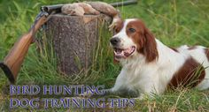 Dog training tips to acquire a bird hunting dog that will help you in retrieving birds while dove hunting.