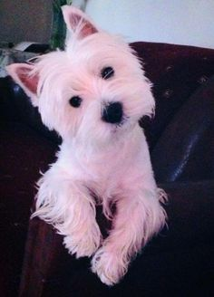 Love That Westie Head Tilt.