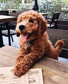 Dogs That Dont Shed Goldendoodle Pets 59 Ideas Cute Baby Animals, Animals And Pets, Funny Animals, Funny Pets, Cute Dogs And Puppies, I Love Dogs, Doggies, Baby Puppies, Baby Dogs