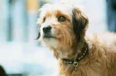 Celebrated Canines: Famous Movie Dogs - Benji