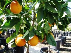 10 Orange Citrus Sinensis Valencia Evergreen Nursery Landscape Plans