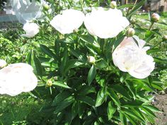Подготовка пионов <i>посадка</i> к зиме. Когда листья и стебли пионов начнут желтеть, полив нужно постепенно сокращать, а когда наступят заморозки, нужно обрезать наземную часть куста почти до уровня почвы. Если осенью вы рассаживали старые пионы или сажали новые, вам придется покрыть этот <i>гиацинты посадка в открытый грунт и уход</i> участок торфяной мульчей слоем в 5-7 см, чтобы слабые после пересадки пионы зимой чувствовали себя комфортно. Весной, когда появятся ростки пионов, слой мульчи можно будет убрать.