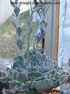 Echeveria shaviana has pale powder blue foliage with very crinkly edges. It's used by hybridizers to contribute this feature to its offspring, sometimes with striking results, in other efforts a surprise.  Size is up to 15cm across, but slow to achieve that size.