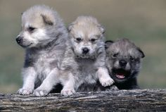 Wondrous Wolf pups are born blind and deaf and begin to see after 9–12 days