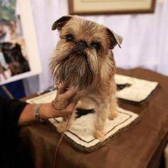 #chiens Griffon bruxellois   http://selection.readersdigest.ca/animaux/faits-insolites/les-10-races-de-chiens-les-plus-etranges?id=3