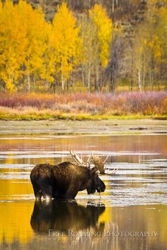 Photographic Print: A Bull Moose Eats from Oxbow Bend in Grand Teton National Park, Wyoming by Mike Cavaroc : Moose Hunting, Bull Moose, Moose Deer, Grand Teton National Park, National Parks, Moose Pictures, Moose Pics, Mundo Animal, All Gods Creatures
