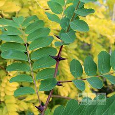 Robinia pseudoacacia - Black Locust Tree – Mail Order Trees