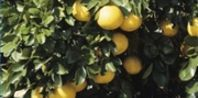 How to Grow a Grapefruit Tree From Seed | eHow.com