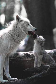 motivationsforlife:  Arctic Wolf Family by Ralf Reinecke //...