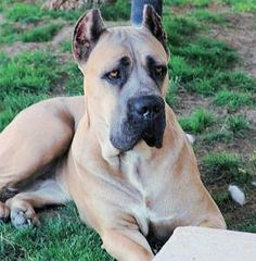 Breed profile - cane corso my favorite dog will not be without one! Ursula ( my Cane Corso) has stole my heart!