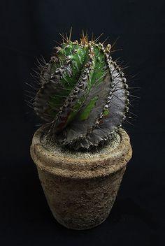 螺旋般若 Astrophytum ornatum f. spiralis