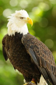 This is a Bald Eagle. It is America's National bird. They are endangered mostly because of the Pesticide DDT. These birds used to eat the roots that were contaminated by the pesticide and their nesting and feeding sites were spreaded.