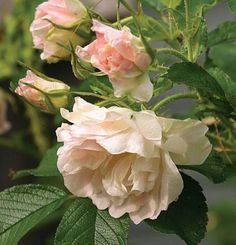 Polar Ice' is one of the most vigorous and densely growing rugosa roses and features clusters of double, slightly nodding flowers. Green buds open to creamy white blooms with pink petals and deeper pink centers. The flowers smell lightly of baby powder, and the new lime green foliage smells like strawberries and sweet grass. In autumn, the foliage turns bright yellow.