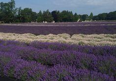 lavish lavender in East Marion