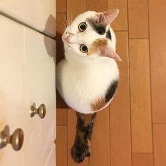 さくら、午後2時。写真より、あたちにおやつまぁだ? Sakura, 14:00. Di scattare foto, si prega di spuntino presto per me? Sakura, 2 pm. Than taking pictures, please snack early to me? ・ 相変わらず、食欲の秋真っ盛りのさくらさん。 ・ #猫 #cat #gatto #chat #catoftheday #catstagram #catlover #catlife #cats_of_instagram #にゃんこ #にゃんすたぐらむ #和猫 #日本猫 #japanesecat #猫との暮らし #猫のいる生活 #猫と暮らす #愛猫 #愛猫家 #calico #ふわもこ部 #calicocat #mikeneko #三毛猫 #みけねこ #ミケネコ #三毛猫倶楽部 #三毛猫ガール #鍵しっぽ #luckycat