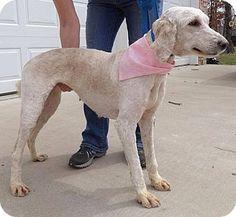 Oak Brook, IL - Labradoodle Mix. Meet Jesse, a dog for adoption. http://www.adoptapet.com/pet/11086349-oak-brook-illinois-labradoodle-mix