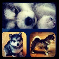Pomsky (pomeranian/husky) I want one!!!!