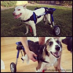"Bosley, the dog shown in the upper photo, was the original owner of this Walkin' Wheels wheelchair. Bosley sadly passed away recently, but his wheelchair is upholding his legacy by going on to help another dog, featured in the lower photo. Now, this dog can live a healthy life with his ""new"" wheels! @odarkstar ‪#‎NewWheelsWednesday‬ ‪#‎payitforward‬"