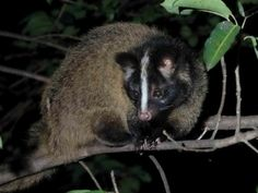 """The masked palm civet or gem-faced civet (Paguma larvata) is a native to the Indian Subcontinent and Southeast Asia. It is classified by IUCN in 2008 as Least Concern as it occurs in many protected areas, is tolerant to some degree of habitat modification, and widely distributed with presumed large populations that are unlikely to be declining.<br><br>The masked palm civet share the characteristics of the civet. However, plum feathers do not have spots. The typical """"mask"""" consists of a white…"""