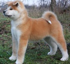 Akita - could never have this kind of dog... #Rent