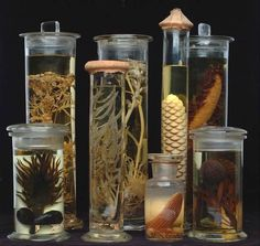Wet Preserved Specimens of Plants and Seeds. Oxford Botanic Garden Collection, now in the Department of Plant Sciences, Oxford University, Oxford, England. Botanical Drawings, Botanical Illustration, Oxford Botanic Garden, Botanic Gardens Edinburgh, Plant Science, Curiosity Shop, Nature Journal, Homestuck, Natural History