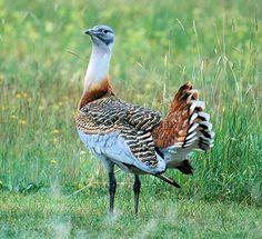Птица дрофа (фото): Быстрый степной обитатель Смотри больше http://kot-pes.com/ptica-drofa-foto/