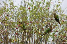 Eugenia involucrata - Cerejeira, Cerejeira-do-mato. Flora Digital do Rio Grande do Sul e de Santa Catarina: Eugenia involucrata