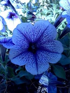 Petunias. M's favorite.. She picked a bunch of these out at the store.