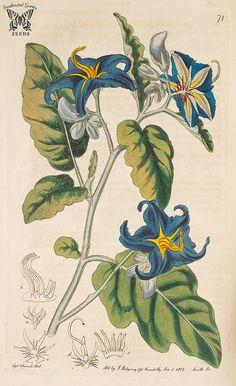 Solanum tridynamum. Botanical Register, vol. 1 (1815) [S. Edwards]