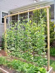Resultado de imagem para how to grow zucchini trellis