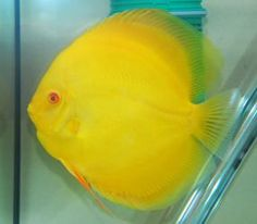 discus fish | Yellow Discus ~ Beautiful! I didn't even know there was a yellow ...