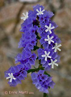Flores Silvestres del Mediterráneo: Plumbaginaceae: Limonium sinuatum