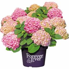 539293_2 Hydrangea Macrophylla, Candy Colors, Floral Wreath, Pink, Colours, Wreaths, Painting, Home Decor, Products
