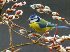 Lovely pussy willow and beautiful blue tit.