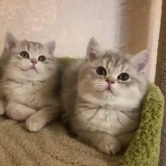 Cute Baby Cats, Cute Little Animals, Cute Cats And Kittens, Cute Funny Animals, I Love Cats, Kittens Cutest, Ragdoll Kittens, Tabby Cats, Funny Kittens
