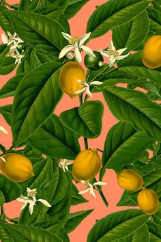 Lemon Botanical ~ Kiss Me, Hardy! by peacoquettedesigns - Emerald green lemon leaves and bold yellow lemons on a pink/peach background on fabric, wallpaper, and gift wrap.  Colorful botanical fruits design with a bold, modern twist.